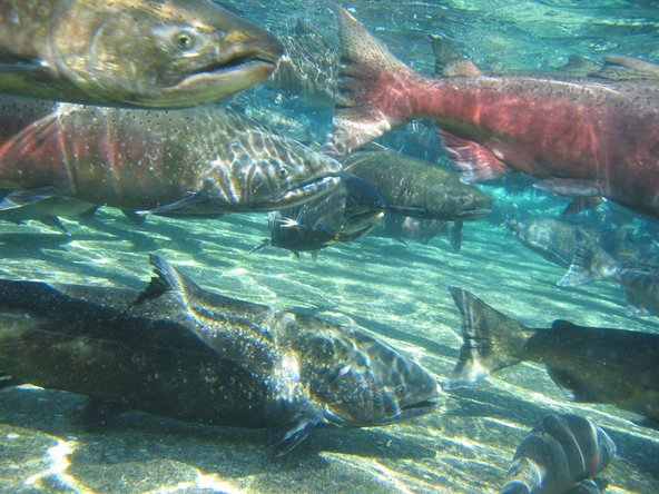 Fish sperm from these salmon help recover rare earth elements